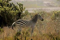 Зебра в саванне Стоковые Изображения