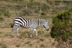 Зебра в саванне Стоковая Фотография RF