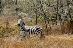 Зебра в саванне Стоковая Фотография