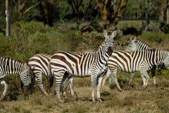 Зебра в саванне Стоковые Изображения RF