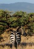 Зебра в саванне Стоковое Фото