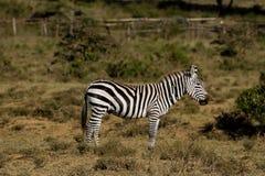 Зебра в саванне Стоковые Фотографии RF