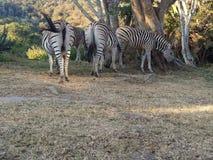 Зебра в саде стоковое фото rf