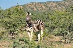 Зебра в сафари живой природы Etosha Намибии Стоковые Фото