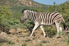 Зебра в сафари живой природы Etosha Намибии Стоковая Фотография