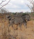 Зебра в сафари Tarangiri-Ngorongoro Африки Стоковые Фотографии RF