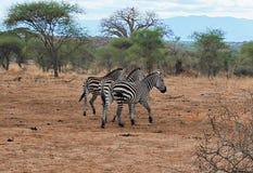 Зебра в сафари Tarangiri-Ngorongoro Африки Стоковое фото RF