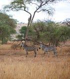 Зебра в сафари Tarangiri-Ngorongoro Африки Стоковые Фото