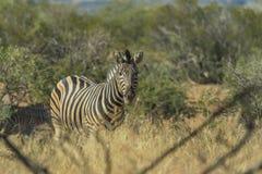 Зебра в своей окружающей среде Стоковое фото RF