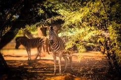 Зебра в солнце Стоковое Фото