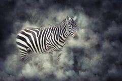 Зебра в дыме стоковая фотография rf