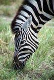 Зебра в Etosha Стоковое Изображение RF