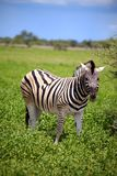 Зебра в Etosha Стоковое Фото