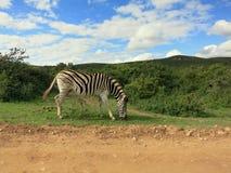 Зебра в Forrest Африке Стоковые Изображения RF