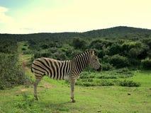 Зебра в Forrest Африке Стоковое Изображение RF