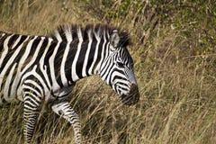 Зебра в Kenia Стоковая Фотография RF