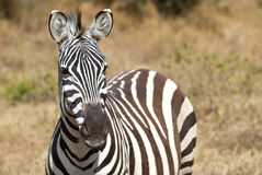 Зебра в Masai Mara Стоковые Фото