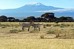Зебра в Masai Mara Стоковое Фото