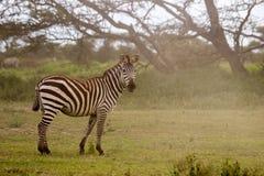 Зебра в Serengeti Стоковая Фотография RF
