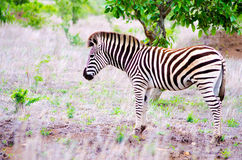Зебра в it& x27; среда обитания s естественная Стоковое Фото