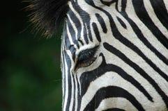 зебра глаза Стоковые Фотографии RF