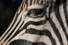 зебра глаза Стоковые Изображения RF