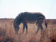 Зебра горы зебры Hartmann Стоковые Фото