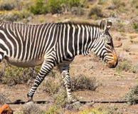 Зебра горы идя в пастбище стоковое фото rf