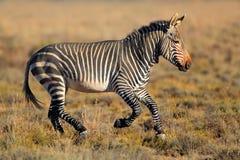 Зебра горы накидки Стоковое фото RF