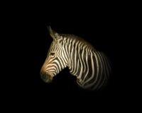 Зебра горы накидки Стоковая Фотография RF