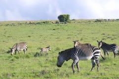 Зебра горы пася в зеленых полях Стоковые Изображения