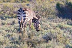 Зебра горы пася в кусте Сафари в национальном парке Karoo, назначение живой природы перемещения в Южной Африке Стоковое Изображение