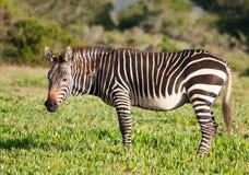 зебра горы плащи-накидк стоящая Стоковая Фотография RF