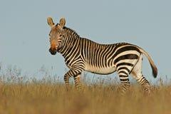 зебра горы плащи-накидк Стоковое Изображение