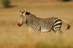 зебра горы плащи-накидк Стоковое фото RF