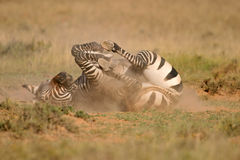 зебра горы плащи-накидк Стоковые Изображения RF