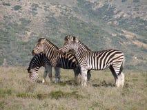 зебра горы Стоковые Изображения