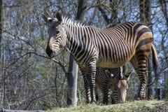 Зебра горы Hartmann (hartmannae зебры Equus) Стоковое фото RF
