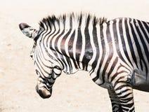 Зебра горы Hartmann (hartmannae зебры Equus) Стоковое Изображение