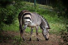 Зебра горы Hartmann (hartmannae зебры Equus) Стоковые Изображения