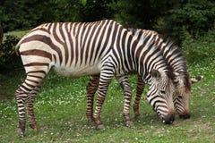 Зебра горы Hartmann (hartmannae зебры Equus) Стоковая Фотография RF