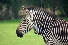 зебра горы s 3 hartmann Стоковое фото RF