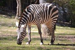зебра горы s hartmann Стоковые Изображения