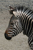 зебра горы s hartmann Стоковые Фотографии RF