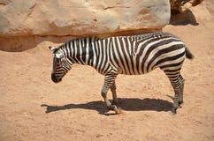 Зебра гуляя в песок Стоковое Изображение