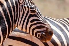 Зебра - глаза и всход носа Стоковая Фотография RF