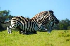 зебра дракой Стоковые Изображения RF