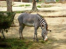 Зебра есть свеже отрезанную траву Стоковое Изображение RF