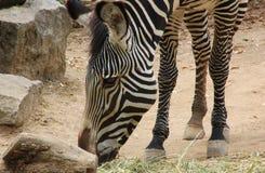 Зебра есть сено на зоопарке Стоковая Фотография