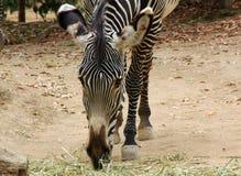 Зебра есть сено на зоопарке Стоковая Фотография RF
